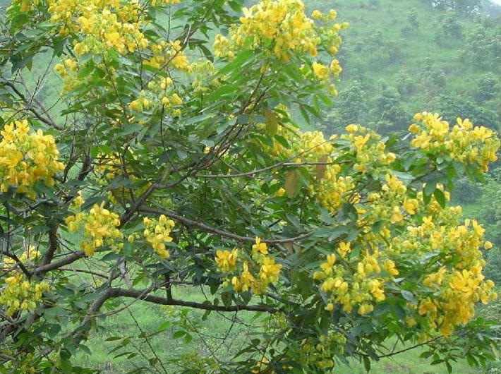 arvore-Cassia-Spectabilis