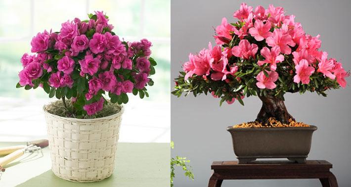 Azalea Violeta africana|Plantas para dentro de casa