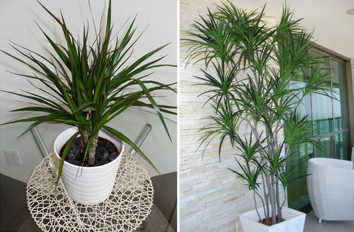 Dracena | Plantas para dentro de casa