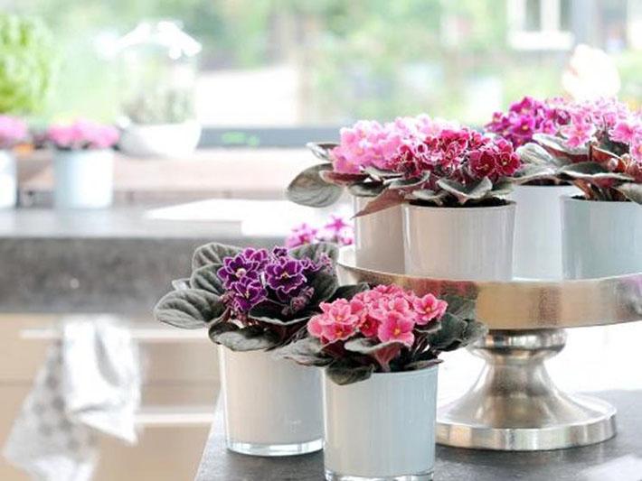 Violeta africana | Plantas para dentro de casa