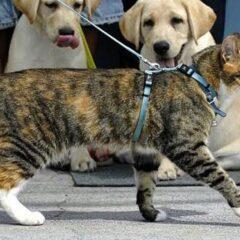 Como levar seu gato para passear