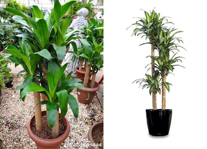 10 plantas para dentro de casa | Dracena Pau D'Água