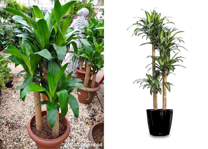 10 plantas para dentro de casa dracena pau d 39 gua