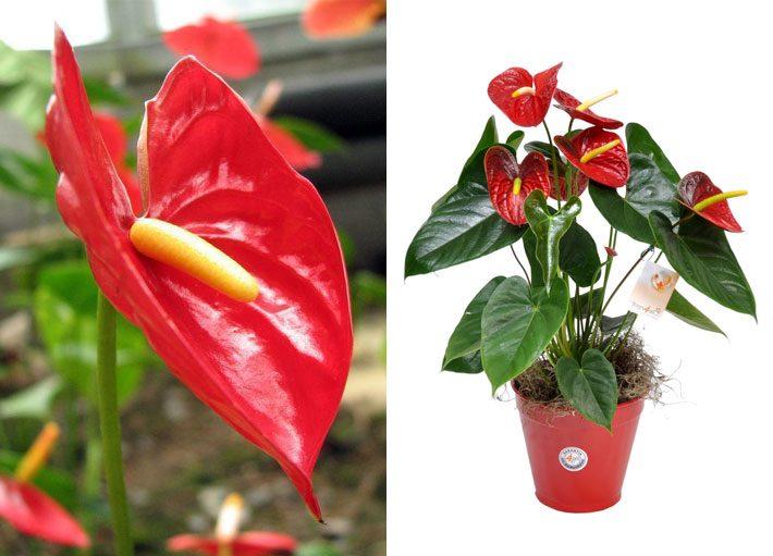 10 plantas para dentro de casa | Anturio
