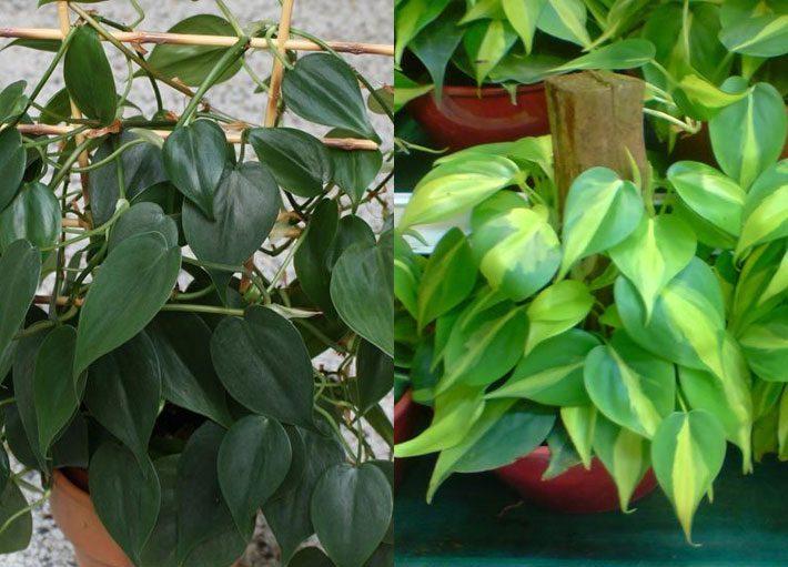 10 plantas para dentro de casa | Filodendro cascata