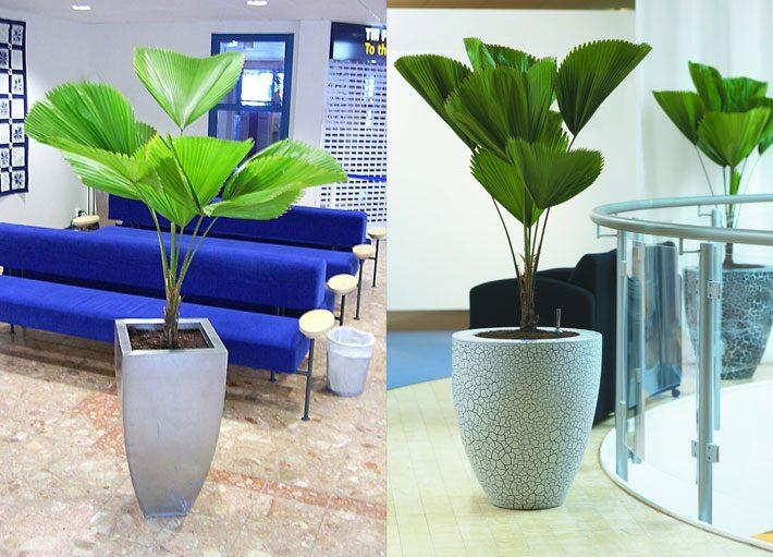 10 plantas para dentro de casa | Palmeira Leque ou Licuaia
