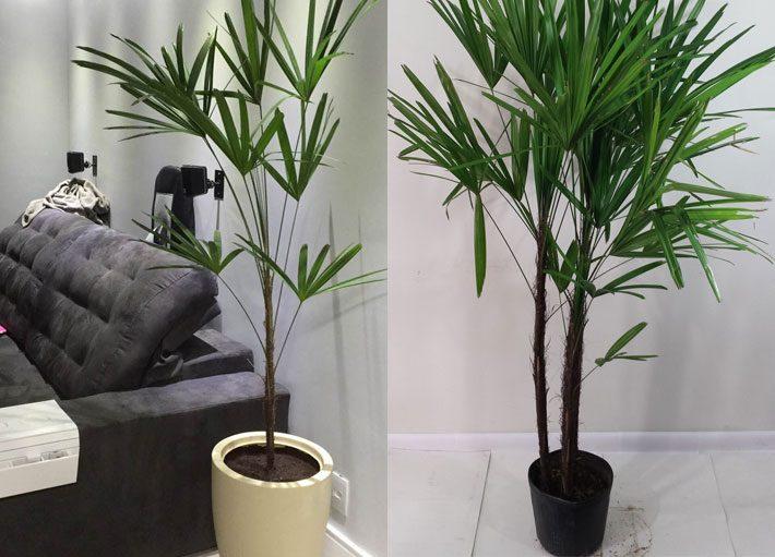 10 plantas para dentro de casa | Palmeira Ráfis