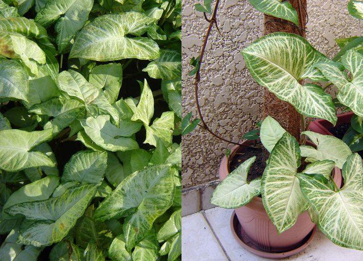 10 plantas para dentro de casa | Singônio