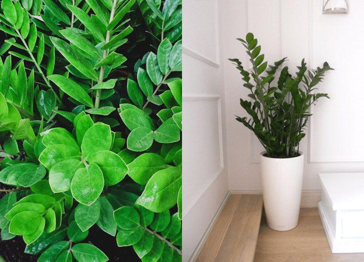 10 plantas para dentro de casa | Zamioculca